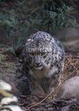 Grande gatto severo immagine stock