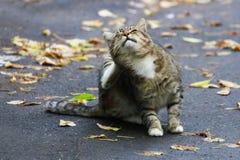 Grande gatto a strisce che si siede su una strada asfaltata e che graffia il suo PA fotografia stock