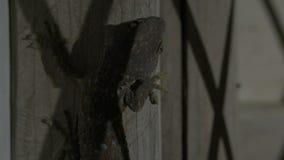 Grande geco che si siede nella parete archivi video