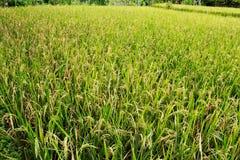 Grande giacimento del riso con i grani di maturazione del riso Immagine Stock