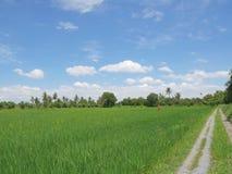 Grande giacimento verde del riso con lo spaventapasseri in maglietta arancio fotografia stock libera da diritti