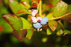 Grande giardino blu-chiaro del mirtillo delle bacche, coltivante un mazzo e un fogliame verde nascosto sui rami di un cespuglio Fotografie Stock Libere da Diritti