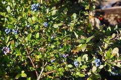 Grande giardino blu-chiaro del mirtillo delle bacche, coltivante un mazzo e un fogliame verde nascosto sui rami di un cespuglio Fotografia Stock