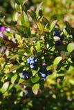 Grande giardino blu-chiaro del mirtillo delle bacche, coltivante un mazzo e un fogliame verde nascosto sui rami di un cespuglio Immagine Stock Libera da Diritti