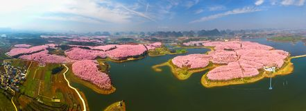 Grande giardino dei fiori di ciliegia Fotografia Stock Libera da Diritti