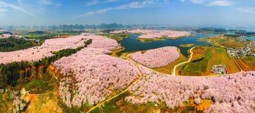 Grande giardino dei fiori di ciliegia Immagini Stock Libere da Diritti