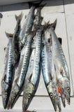 Grande giorno di pesca per il barracuda Fotografia Stock Libera da Diritti