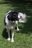 Grande giovane cane in bianco e nero del landseer di Terranova Fotografie Stock Libere da Diritti