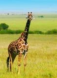 Grande giraffa africana selvaggia Fotografia Stock Libera da Diritti
