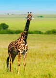 Grande giraffe africaine sauvage Photographie stock libre de droits
