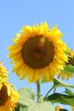 Grande girasole giallo sui precedenti del cielo blu Fotografia Stock Libera da Diritti
