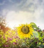 Grande girasole giallo sullo sfondo naturale dei fiori selvaggi e del cielo blu, fine su fotografie stock
