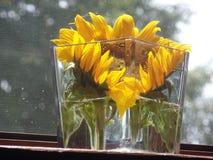 Grande girasole giallo in un vaso di vetro fotografia stock libera da diritti