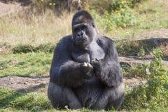 Grande gorilla dei maschi Fotografia Stock Libera da Diritti