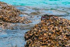 Grande granchio sopra una barriera corallina, alta marea Immagine Stock Libera da Diritti