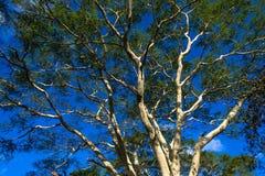Grande grande albero di febbre Fotografie Stock