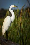Grande grande ritratto bianco dell'egretta Fotografia Stock