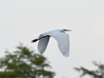 Grande grande volo bianco dell'uccello dell'egretta Fotografie Stock