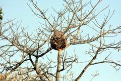 Grande, Gray Ball-Shaped Nest na árvore no outono imagens de stock
