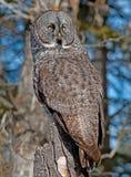 Grande Gray Owl Imagem de Stock