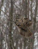 Grande Gray Owl Immagini Stock