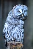 Grande Gray Owl che pende la macchina fotografica giusta del rivestimento Fotografia Stock