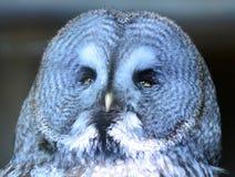 Grande Gray Owl che si siede su una trave con tornitura capa alla destra Fotografia Stock Libera da Diritti
