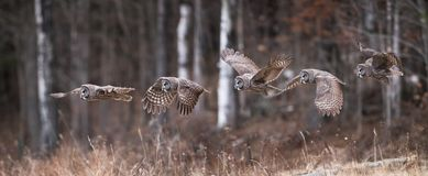 Grande Gray Owl Flight Sequence Fotografie Stock
