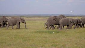 Grande gregge degli elefanti e del bambino che corrono dal pericolo sul pascolo della savana video d archivio