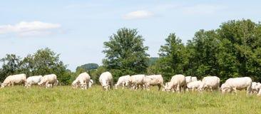 Grande gregge dei bovini da carne bianchi del charolais che pascono in un PA erboso Fotografia Stock Libera da Diritti