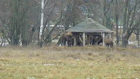 Grande gregge del bisonte e dei cervi Sika europei alla ricerca di alimento, fauna selvatica 4K video d archivio