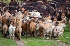 Grande gregge delle capre e delle pecore sull'erba verde Fotografia Stock