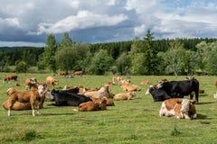 Grande gregge delle mucche con il vitello che pasce nel sole in un verde Immagini Stock Libere da Diritti