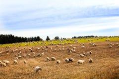 Grande gregge delle pecore e delle capre che pascono su un campo Immagine Stock Libera da Diritti