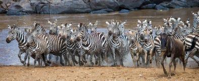 Grande gregge delle zebre che stanno davanti al fiume kenya tanzania Sosta nazionale serengeti Maasai Mara Fotografia Stock Libera da Diritti