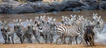 Grande gregge delle zebre che stanno davanti al fiume kenya tanzania Sosta nazionale serengeti Maasai Mara Immagine Stock Libera da Diritti