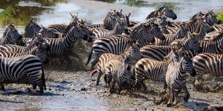 Grande gregge delle zebre che stanno davanti al fiume kenya tanzania Sosta nazionale serengeti Maasai Mara Fotografie Stock Libere da Diritti
