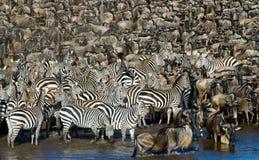 Grande gregge delle zebre che stanno davanti al fiume kenya tanzania Sosta nazionale serengeti Maasai Mara Immagini Stock Libere da Diritti