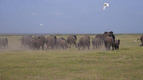 Grande gregge far infuriare degli elefanti che corrono dal pericolo sulle pianure della savana archivi video