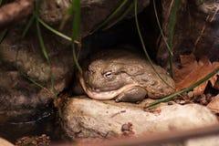Grande grenouille Photographie stock libre de droits