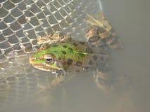 Grande grenouille Photos libres de droits