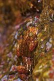 Grande grenouille froissée, commandant de Nyctibatrachus, Mulshi, secteur de Pune, maharashtra Image stock