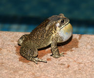 Grande grenouille tropicale (la nuit) Images libres de droits