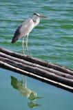 Grande Grey Heron (ardea cinerea) su bambù di galleggiamento Fotografia Stock Libera da Diritti