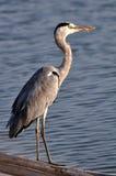 Grande Grey Heron che stading sul bambù di galleggiamento Fotografia Stock Libera da Diritti
