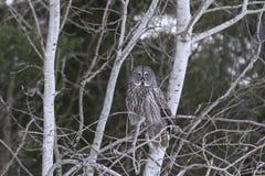 Grande Grey Owl Immagine Stock