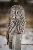 Grande Grey Owl imagem de stock royalty free