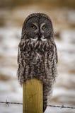 Grande Grey Owl fotografia de stock royalty free
