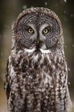 Grande Grey Owl foto de stock