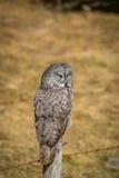 Grande Grey Owl imagens de stock